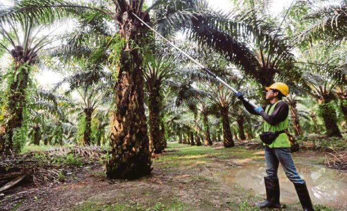 马来西亚政府引进3.2万名外国工人将提高油棕产量
